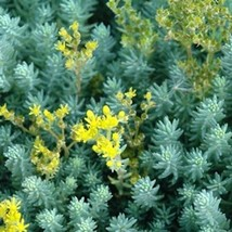 "5 Sedum reflexum "" Blue Spruce "" - Ground Cover - Live Plant - Deer Resistant - $37.32"
