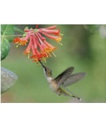 1g - Live Plant-Orange-Red Cape Honeysuckle Tecomaria Capensis Hummingbird - $14.25