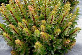 "2.5"" pot sedum DOUBLE MARTINI new tall drought tolerant 1 Live Potted Plant - $25.99"