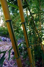 Set of 3 Plants Stripe Bamboo Extra Cold Hardy - $138.59