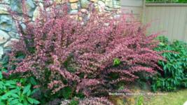 Rose Glow Barberry shrub qt. pot (Berberis thunbergii 'Rose Glow')  image 8