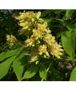 Well rooted Aesculus flava (Yellow Buckeye). Strong 2 year old plant, tkmv - $52.00