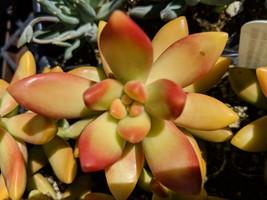 """SEDUM Nussbaumerianum green copper edge succulent 1 rooted cutting 2-6"""" each - $5.93"""