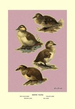 Four Downy Young Ducks by Allan Brooks - Art Print - $19.99+