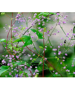 5 Pcs Pink Chinese Meadow Rue Seeds #MNSF - $14.00