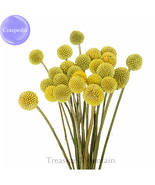 Craspedia billy balls yellow flower 10 seeds golden ball cut flowers ts242t thumbtall