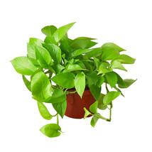 "Live Plant - Pothos 'Neon' - 6"" Pot - Houseplant - Gardening- Outdoor Living - $80.99"