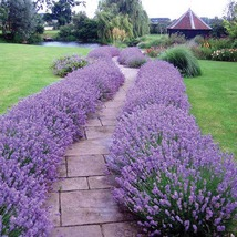 PREMIUM SEED: 100 Pcs Blue Carpet Catmint Seeds, Big violet-blue spikes ... - $9.95