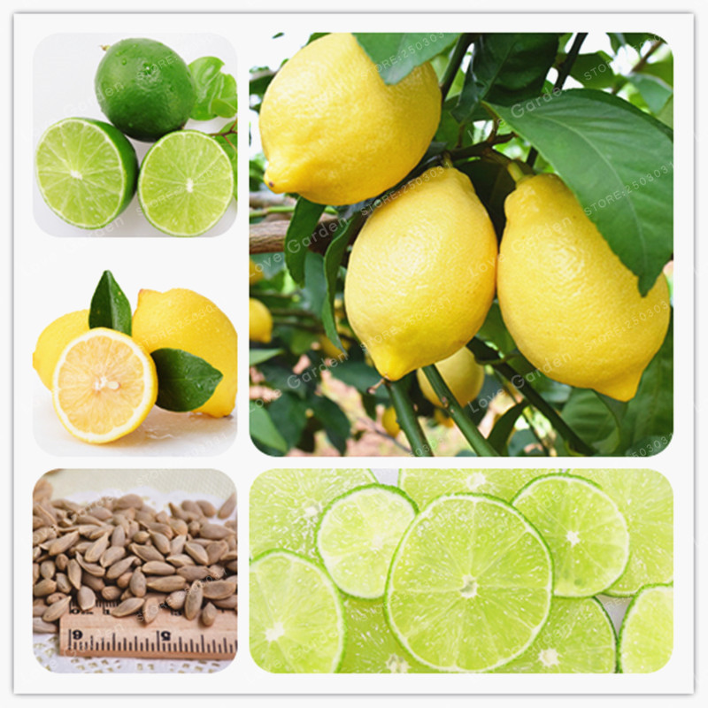 Seeds fresh juicing edible healthy exotic ornamental tropical fast growing citrus limon fruit 88