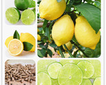 Icing edible healthy exotic ornamental tropical fast growing citrus limon fruit 88 thumb155 crop