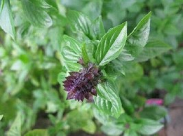 SHIP FROM US Basil,Cinnamon Basil Herb Seeds-Fresh, Non GMO & Hand Packa... - $4.50