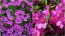 Rhododendron Azalea Formosa indica Purple pint Plant - $55.99