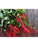 10 Seeds - Pineapple Sage / Red Sage - $7.99