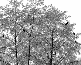 'Raven Tree' - Fine Art Photograph Print - $9.95+