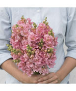 Madame Butterfly Pink Seed ,Costa Silver Snapdragon Flower Seeds - $21.00