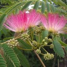 Silk Tree Albizia julibrissin suitable as bonsai 20 seed - $17.99