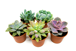 5 Cactus Real Live Plants Potted Succulents Fully Rooted in Planter Pots... - $21.43