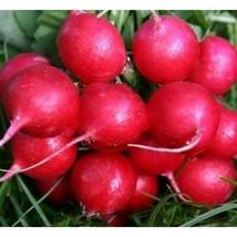 Cherry Belle Radish Heirloom 100 Seeds #SDP99 - $22.17