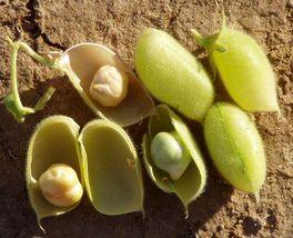 20g Italian Chick Pea Seeds ~60 Seeds Garbanzo Bean ~High Protein Legume... - $14.99