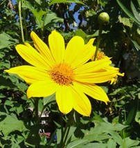 Ship From 25 Yellow Torch Mexican Sunflower Tithonia Speciosa Flower SBR4 - $11.99