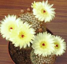 Notocactus Schlosseri, exotic parodia eriocactus rare succulent cactus -25 SEEDS - $18.00