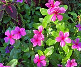 100 Periwinkle Vinca Rose Pink White & Purple Mix Flower Seeds Heirloom! - $9.99