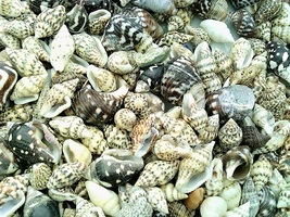 Conch Sea Shell Mix Craft Specimen Jewelry - $12.01