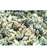 Conch Sea Shell Mix Craft Specimen Jewelry - $12.01