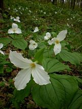 White Trillium 5 bulbs Wood Lily image 4