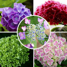 15pcs Very Admirable Mixed Hydrangea Big Blooming Flowers Seeds IMA1 - $13.99