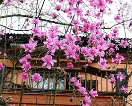 10pcs Yulan Magnolia Tree Seeds strong fragrant flowers very lovely - $14.89