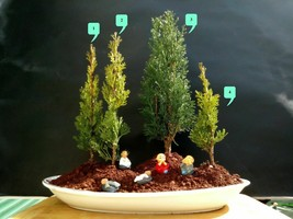 Bonsai forest Cupressus Sempervirens Totem - Do it yourself 4 Plants! - $243.93