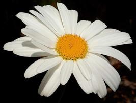 25 Shasta Daisy Seeds-1001 - $2.98