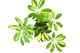 "Live Schefflera 'Variegated'- Live House Plant - FREE Care Guide - 4"" Pot - $25.99"