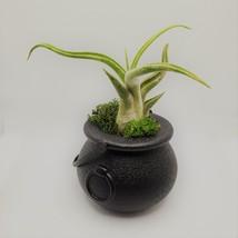 "Airplant in Black Cauldron, Halloween 2"" plastic planter, Witch pot air plant image 3"
