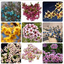 Promotion Geraldton wax Flower Seeds Rare bonsai Plants home garden Very... - $7.94