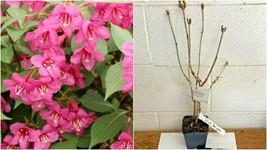 "Pink Weigela 4"" pot - Outdoor Living - $35.99"
