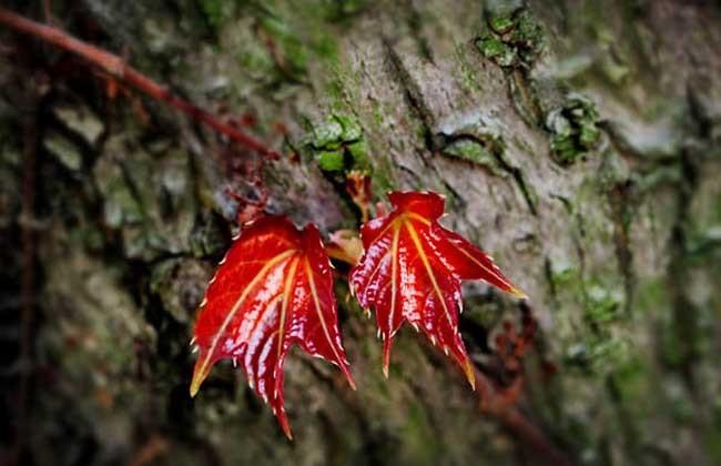 10 Seed Rare Red Ivy Creeper Leaves Heirloom Seeds, DIY Beautiful Tree DO