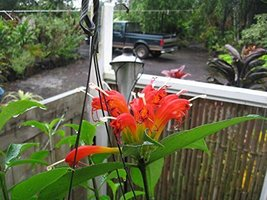 1 Starter Plant of Aeschynanthus 'Evrardii' Giant Lipstick Plant - $43.56
