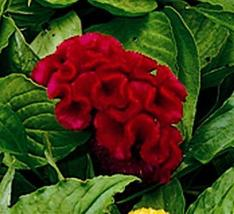 SHIP FROM US 30 Seeds RedCockscomb Flower,DIY SB Flower Seeds - $27.99