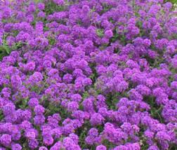200 Seeds Rock Cress Purple Aubrieta Deltoidea, DIY Decorative Plant ov04 - $9.31