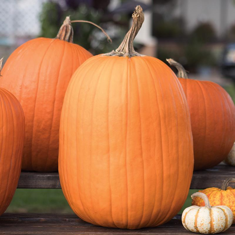 Pumpkin Seeds - Howden (Treated) - Gardening -  Outdoor Living - FREE SHIPPING - $30.99 - $34.99