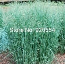 320 pcs/lot Switchgrass (Panicum virgatum) Seeds - $9.13