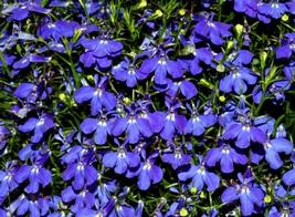 600 Lobelia Midnight Blue Seeds ~23mg ~ Annual Medicinal Herb Flower ~ n... - $15.99