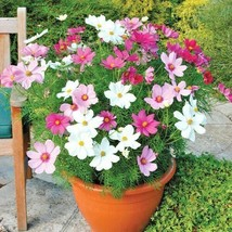 Dwarf Cosmos Mix Flower 300 Seeds #CRB03 - $14.17