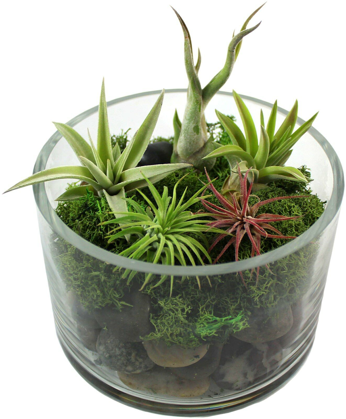Primary image for 5 Live Plant Small Tillandsia Air Plants Assortment of Exotic Variety Pack