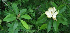 SWEETBAY MAGNOLIA, Laurel Magnolia, Swamp Magnolia qt. pot image 5