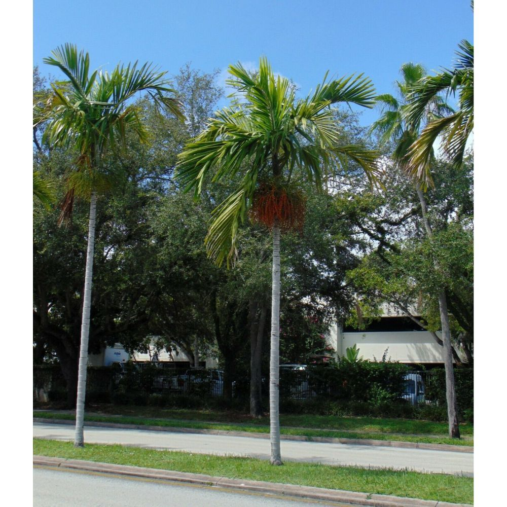 Solitaire Palm Alexander Palm Ptychosperma elegans 10 Seeds GTL09 - $24.17