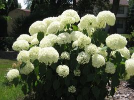 Old Fashion Snowball Viburnum (Viburnum opulus roseum) image 3