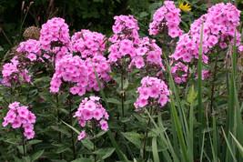 """2.5"""" pot phlox EVA CULLUM paniculata tall garden flower 1 Live Potted Plant - $33.99"""